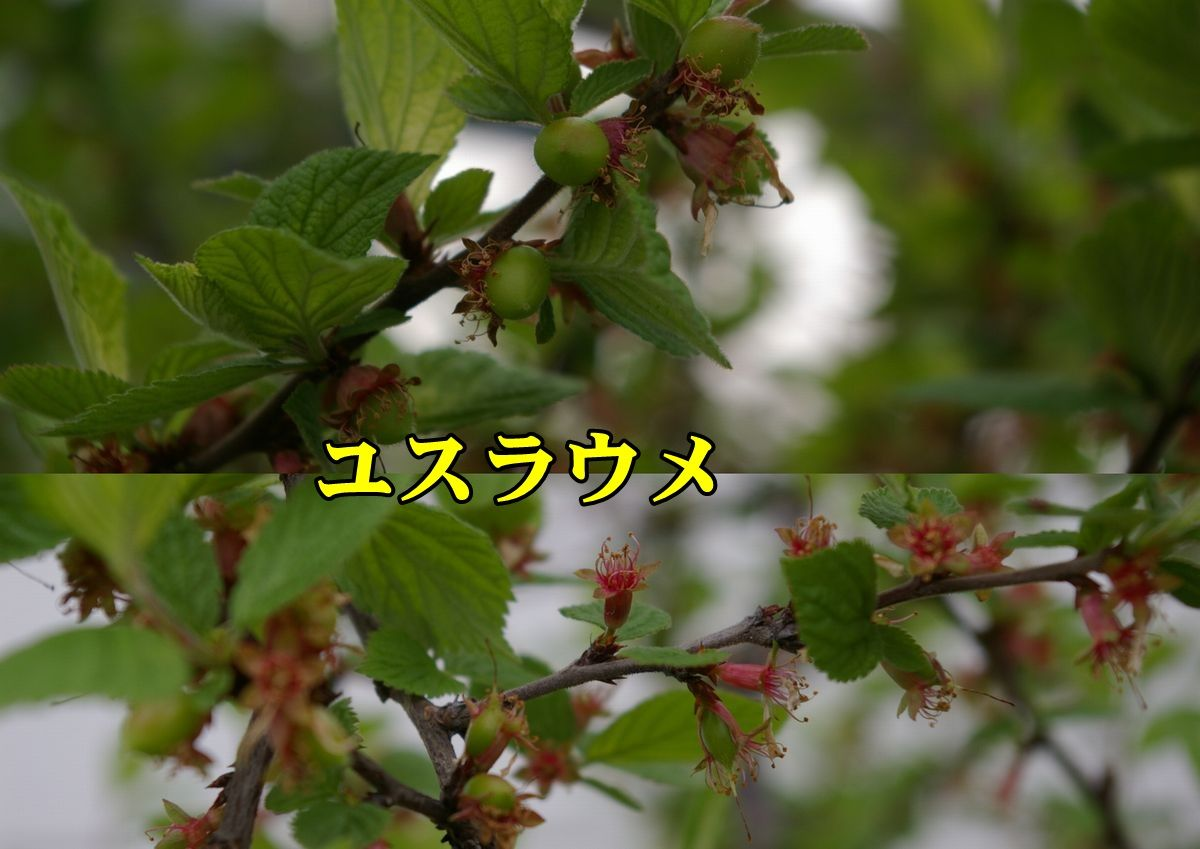 1yusuraume150410.jpg