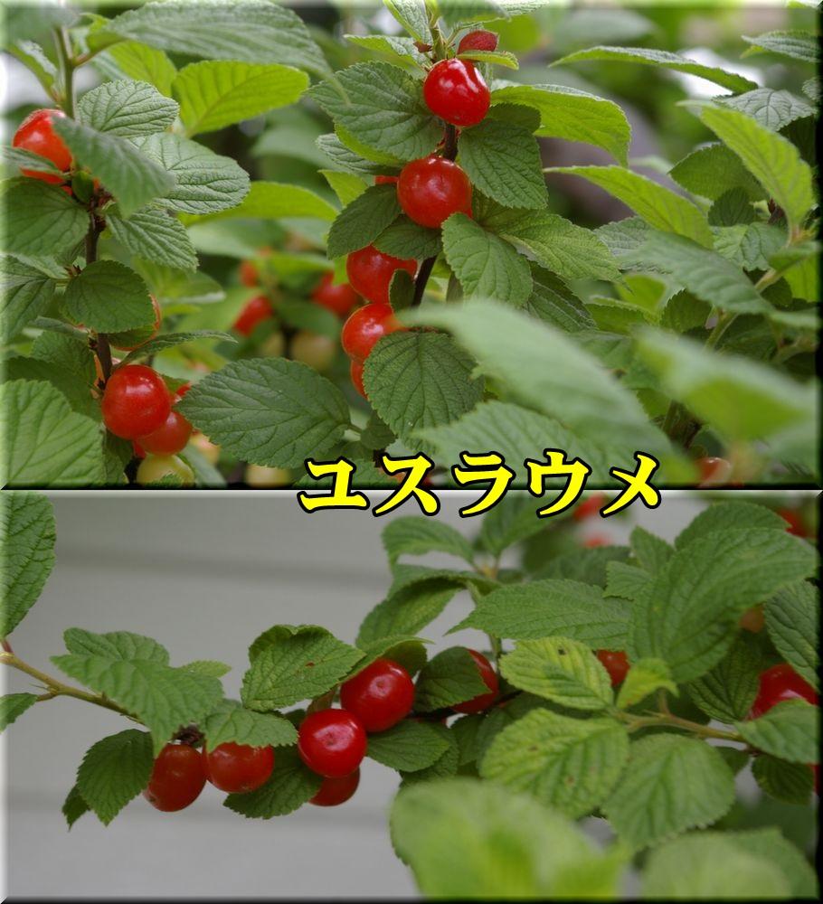 1yusuraume150520_017.jpg
