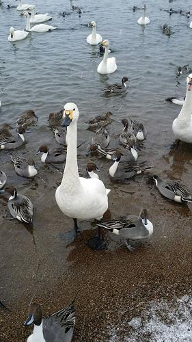 猪苗代白鳥