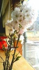 元次さん 桜1
