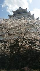 桜 鶴ヶ城
