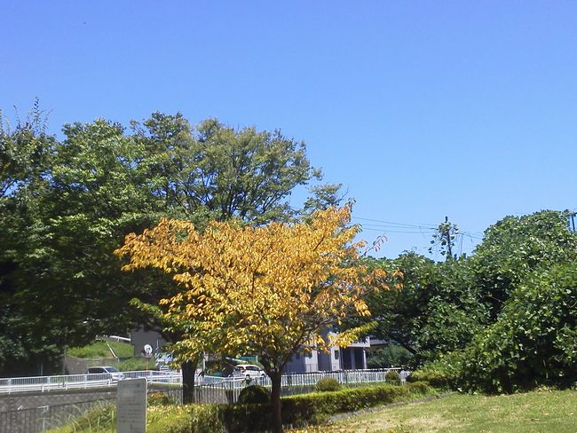河津桜の黄葉.JPG