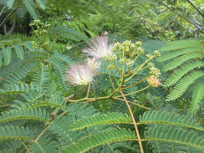 ねむの木の花.JPG
