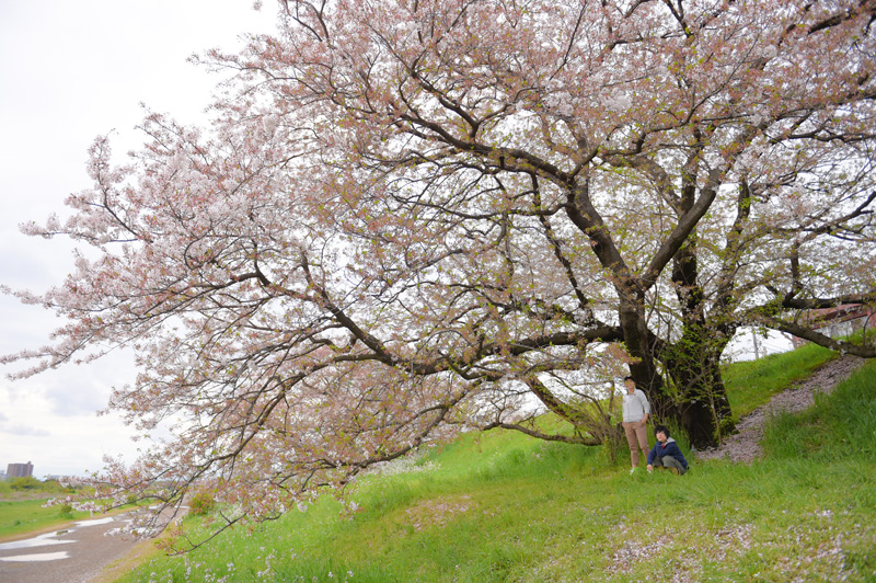 003BH6_sakura.jpg