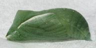 192-ヒカゲチョウ蛹(側面)-OMD02882