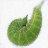 96-ヒカゲチョウ前蛹-OMD02897