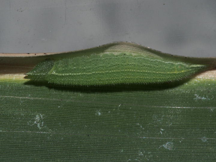 ヒカゲチョウ幼虫15mm-OMD02907