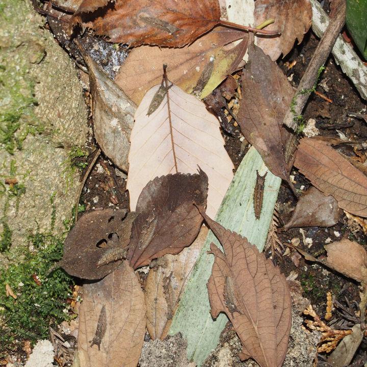 オオムラサキ越冬幼虫-OMD03109