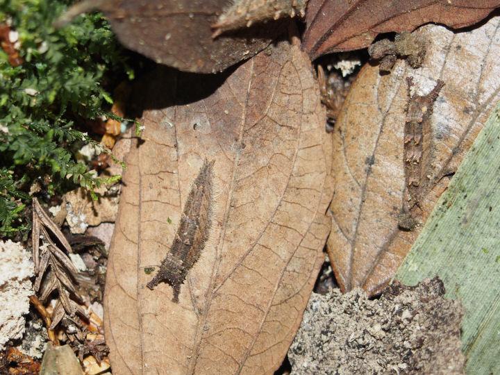 オオムラサキ越冬幼虫-OMD03111