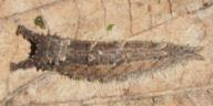 192-オオムラサキ越冬幼虫-OMD03111