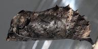 96-コノハチョウ蛹(側面)-OMD06573