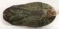 192-ベニシジミ蛹11mm(腹面)-OMD06373