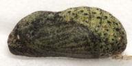 192-ベニシジミ蛹11mm(側面)-OMD06369