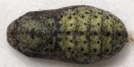 192-ベニシジミ蛹11mm(背面)-OMD06366