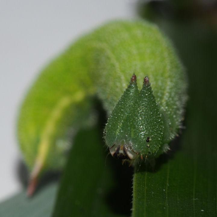 ヒカゲチョウ幼虫32mm-OMD06298
