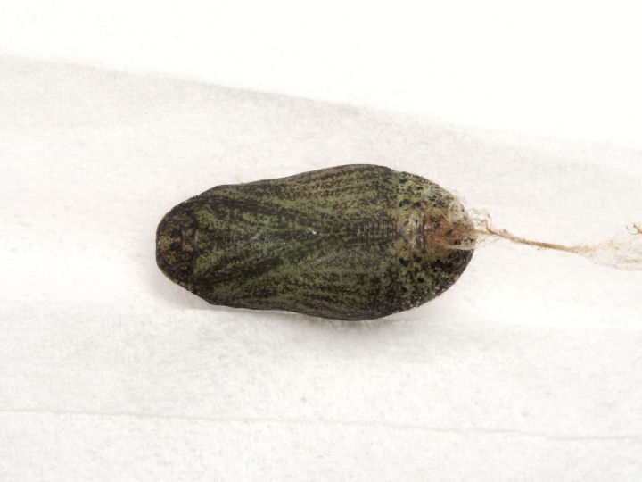 ベニシジミ蛹11mm(腹面)-OMD06373