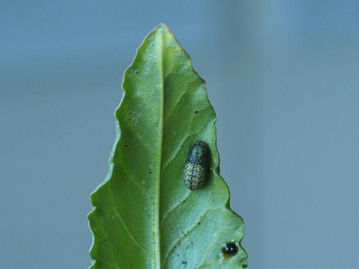 ベニシジミ蛹11mm@スイバ-OMD06360