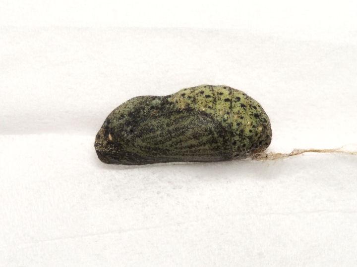 ベニシジミ蛹11mm(側面)-OMD06369