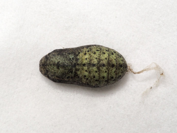 ベニシジミ蛹11mm(背面)-OMD06366