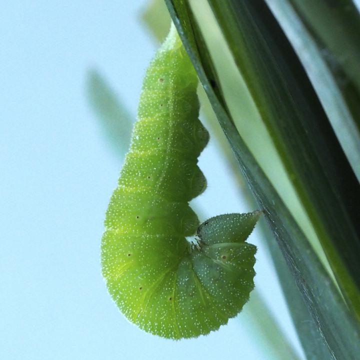 ヒカゲチョウ前蛹-OMD07562