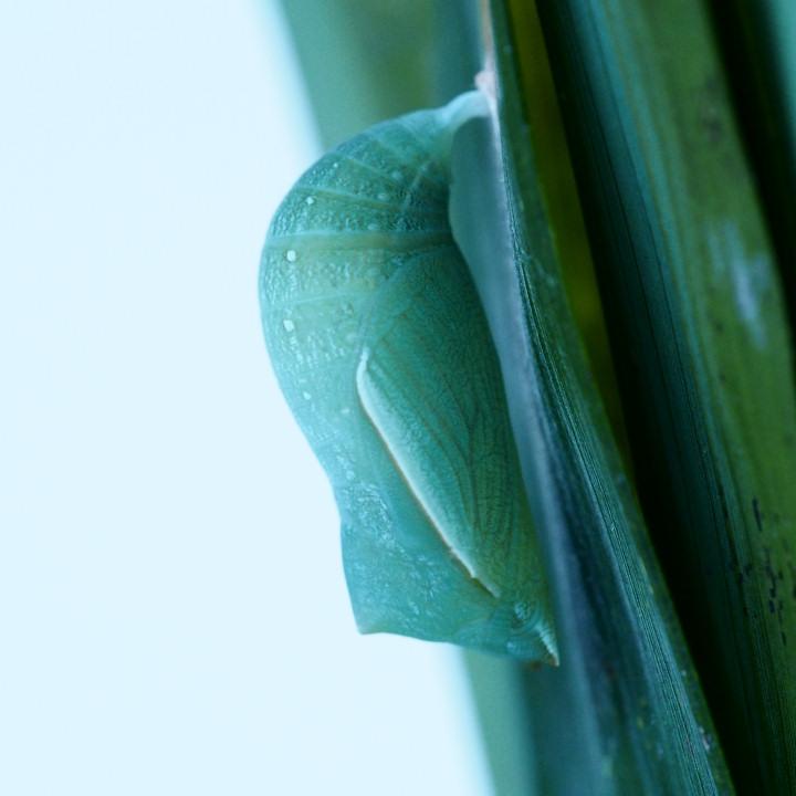 ヒカゲチョウ蛹-OMD08322