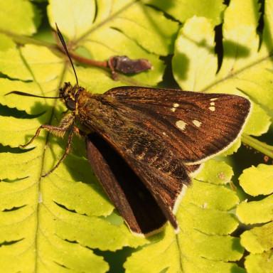 384-コチャバネセセリ♀表-2015-05-05-OMD00448
