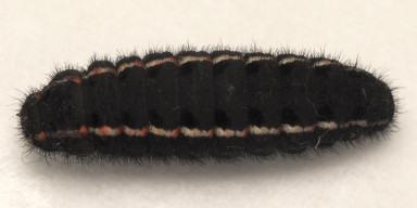 384-ウスバシロチョウ前蛹-2015-04-28-OMD02500