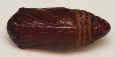 384-ウスバシロチョウ蛹15mm-2015-04-26-OMD01866