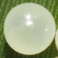 192-コジャノメ卵2-2015-05-10能見堂-OMD01610