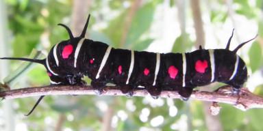 384-オオゴマダラ幼虫-2012-05-22西表-R0011666