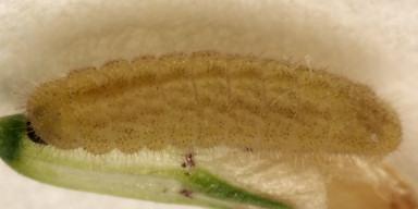384-ツバメシジミ幼虫5mm-OMD01040