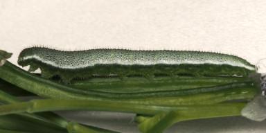 384-ツマキチョウ幼虫26mm-OMD00908