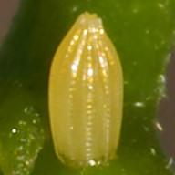 192-ナミエシロチョウ卵-2015-05-17与那国-OMD03094