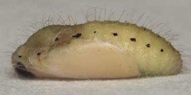 384-ツバメシジミ蛹(側面)8mm-OMD03282
