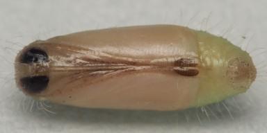384-ツバメシジミ蛹(腹面)8mm-OMD03283