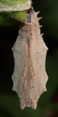 384-ヒオドシチョウ蛹(腹面)-OMD03337