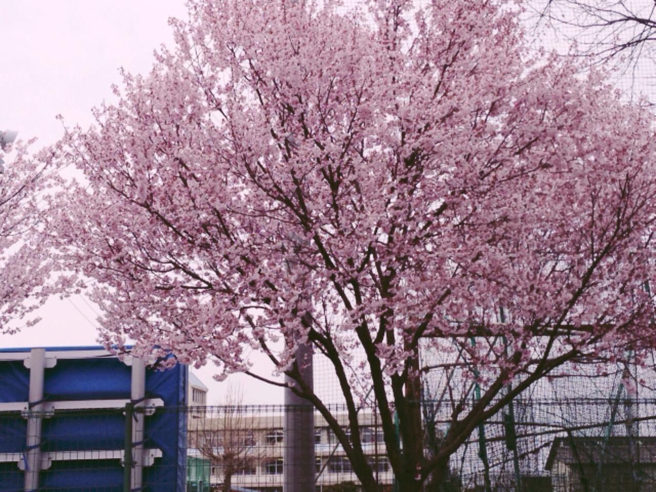 桜PHOTO