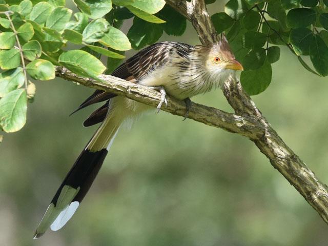 アマゾンカッコウ (Guira guira)