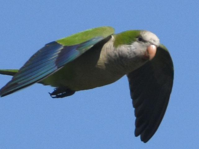 オキナインコ (Myiopsitta monachus)