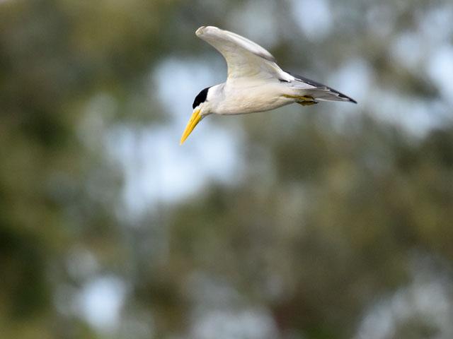 オオハシアジサシ (Phaetusa simplex)