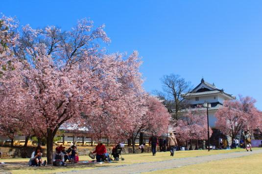 桜 舞鶴城公園 北側