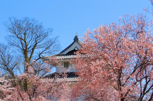 桜 舞鶴城公園 北側 稲荷櫓