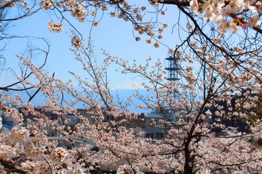 桜 舞鶴城公園 南側 石垣途中 富士山