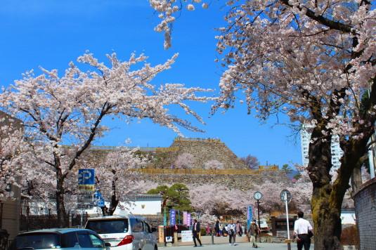 桜 舞鶴城公園 南側 入口