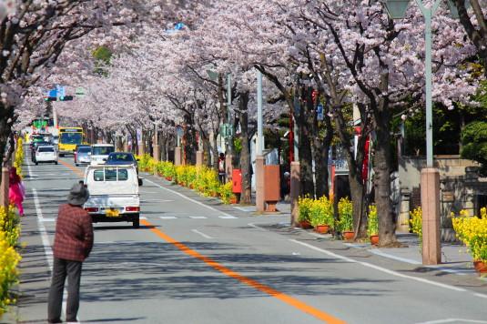 桜 武田通り 菜の花