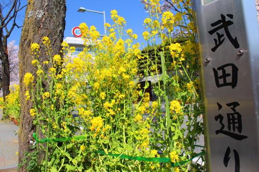 桜 武田通り 菜の花 近く