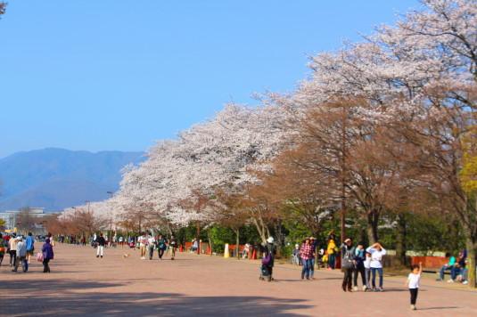 桜 小瀬 北側 反対