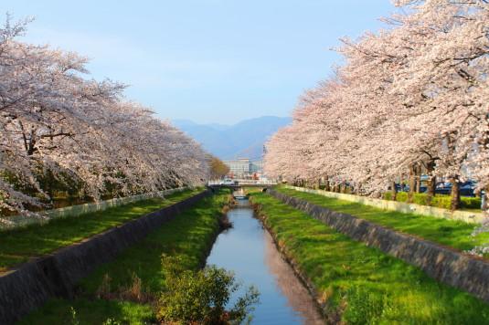 桜 小瀬 川沿い