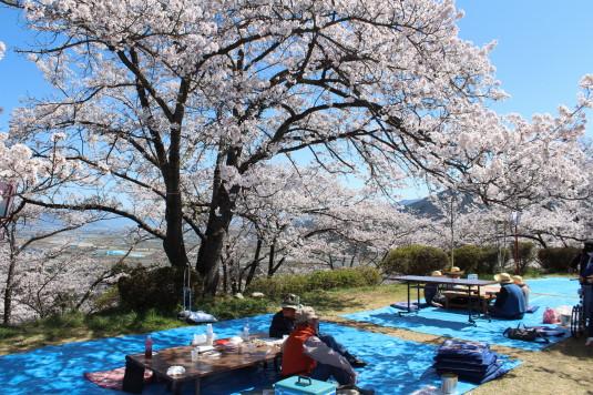 桜 大法師公園 お花見 フードコート周辺