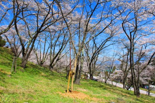 桜 大法師公園 お花見 斜面